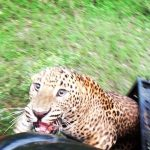Sri Lanka Wildlife officials rescue leopard trapped in snare